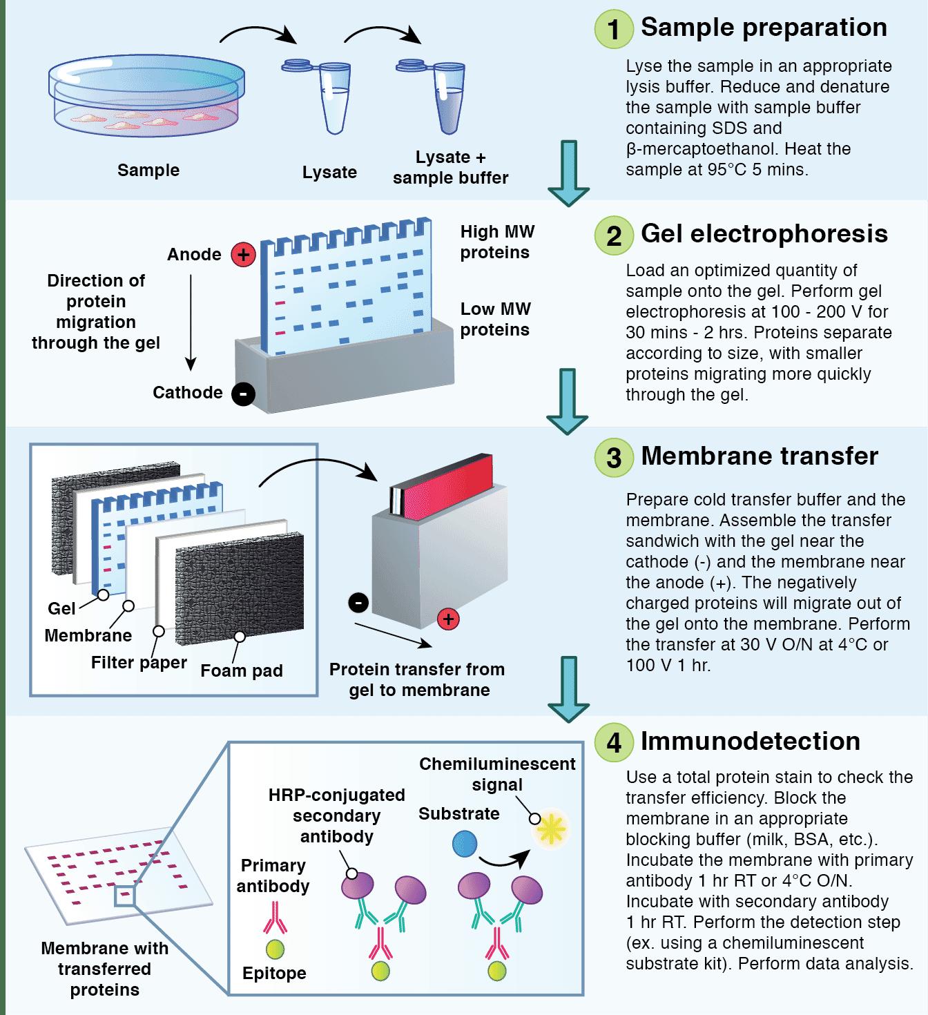 Western Blot Protocol